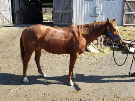Daisy, American Quarter Horse Mare for sale in New York