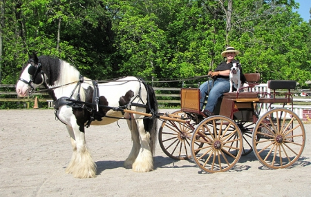 Loki is a safe and quiet Gypsy Vanner with years of carriage driving which produced a very well-mannered horse undersaddle and inhand., Gypsy Vanner Gelding for sale in Kentucky