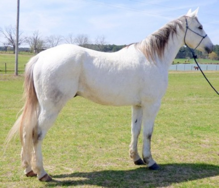 Mint, American Quarter Horse Gelding for sale in Colorado