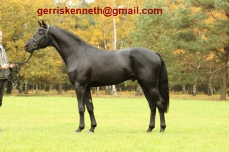 Valzero, Hanoverian Gelding for sale in North Carolina