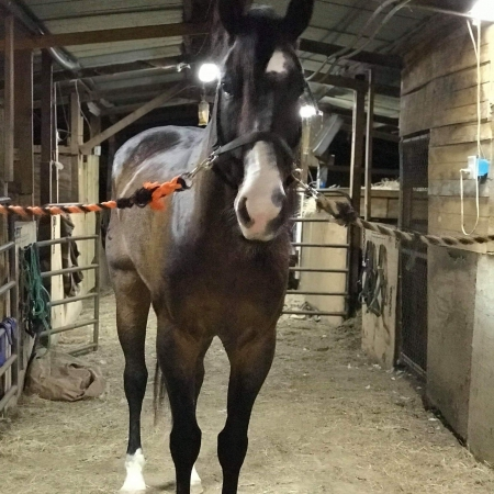 Montana, Thoroughbred Cross Gelding for sale in Texas