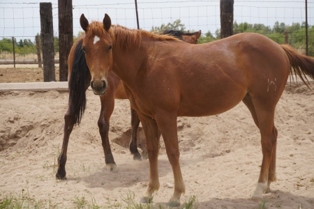 High Brow Cat filly for sale- Red Hot Sol Cat, American Quarter Horse Filly for sale in Arizona