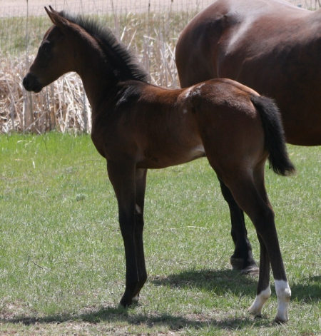 2019 Filly, Appaloosa Filly for sale in North Dakota