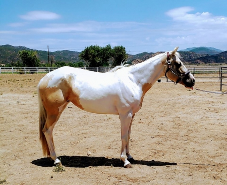 Bacardi On Ice, American Paint Horse Association Mare for sale in California