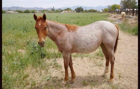 Bob Acre Doc filly- Royal Six Sol, American Quarter Horse Filly for sale in Arizona