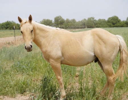 Peppy San Badger stud colt for sale - Butter and Sol, American Quarter Horse Colt for sale in Arizona