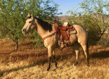 JACKS SPEEDY SEEKER, American Quarter Horse Gelding for sale in Arizona