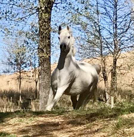 Naturally TSantana, Arabian Gelding for sale in Alabama