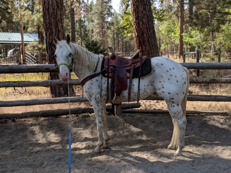 Butterscotch , Appaloosa Gelding for sale in Montana