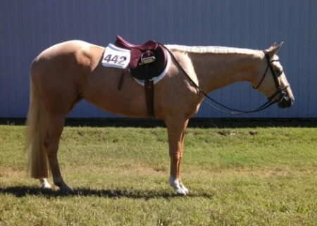 Stella, Palomino Mare for sale in Minnesota