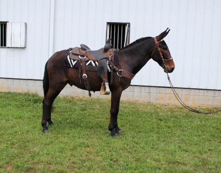 Gaited Trail Mule (Good Time Charlie), Mule Jack for sale in Kentucky