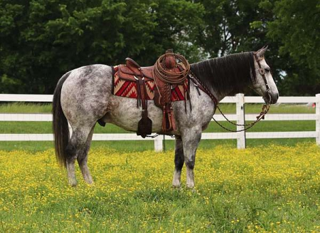 Healthy grey gelding available , American Quarter Horse Gelding for sale in South Carolina