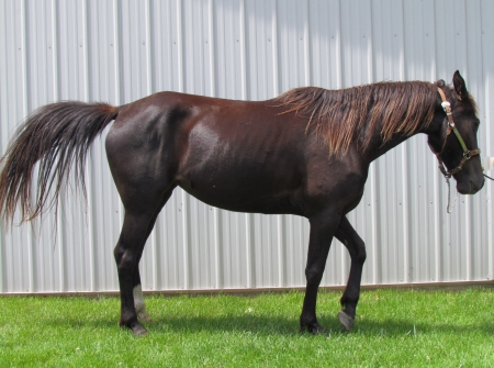 Angel's Gypsy, Tennessee Walking Horses Mare for sale in Michigan