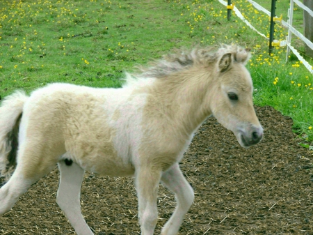 WORLD CHAMPION BLOODLINES ~ MINIATURE HORSE ~ MINI HORSE ~ AMHA/AMHR ~ ULTRA REFINED, Miniature Colt for sale in New York