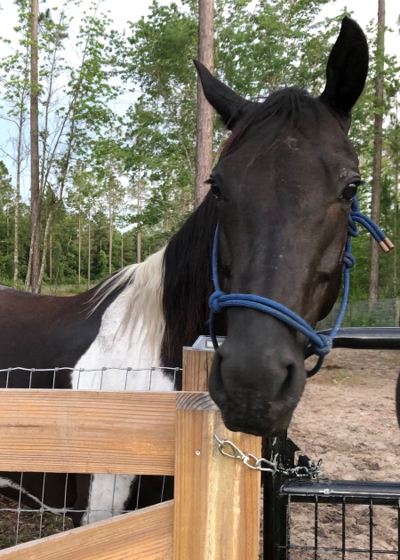 Spirit, American Paint Horse Association Mare for sale in Florida