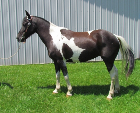 Fancy, Ponies (All) Mare for sale in Michigan