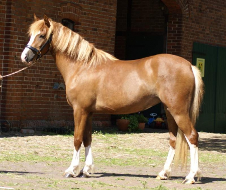 Flashy well trained pony, Ponies Gelding for sale in Texas