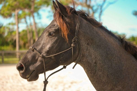 REDUCED! 2015 AQHA Blue Roan Gelding, Racking Horse Gelding for sale in Florida