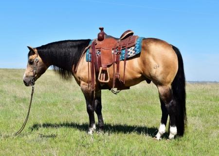 Jerry, American Quarter Horse Stallion for sale in Nebraska