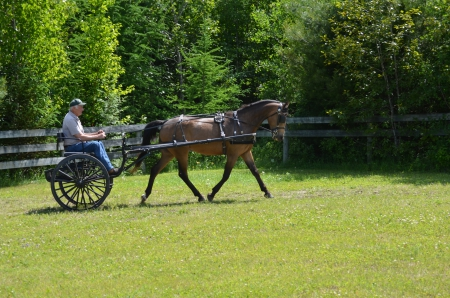 AE'S Duke of Tatras, Morgan Gelding for sale in Vermont