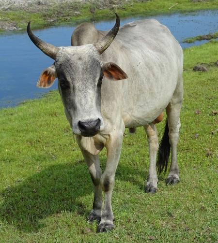 Bull, Miniature Stallion for sale in Florida