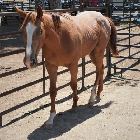 Appaloosa Horses For Sale - MyHorseForSale com Equine