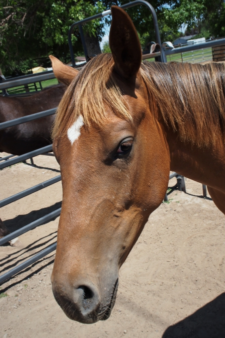 Giorgis Prize, Appaloosa Filly for sale in Idaho
