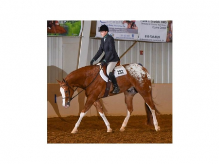 Chromed by Charlie, Appaloosa Gelding for sale in Pennsylvania