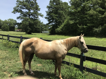 Crystal, Quarter Horse Cross Mare for sale in Georgia
