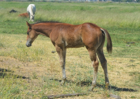 Arvid, American Paint Horse Association Colt for sale in California