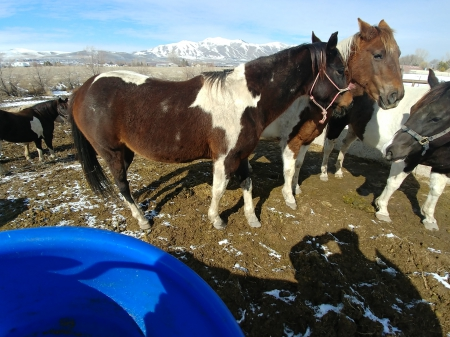 Chary Assured, American Paint Horse Association Mare for sale in Utah