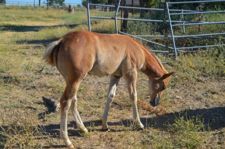 Royal Diamond Dual, American Paint Horse Association Colt for sale in California