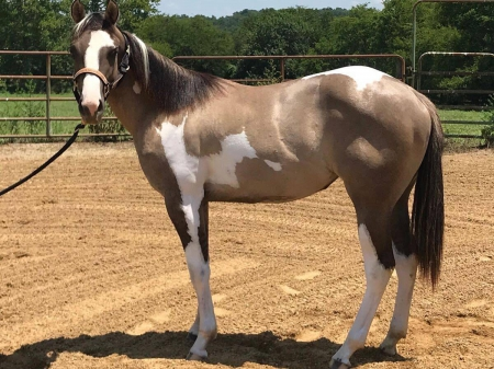Radical Chex, American Paint Horse Association Filly for sale in Tennessee