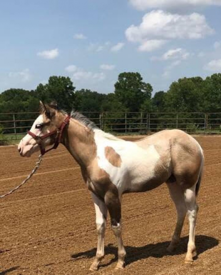 Abilene, American Paint Horse Association Filly for sale in Tennessee