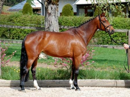 Nikki Horse Gelding, Arabian Gelding for sale in Alaska