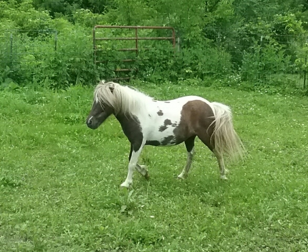 Coffey's Little Lady Bug, Miniature Filly for sale in Minnesota