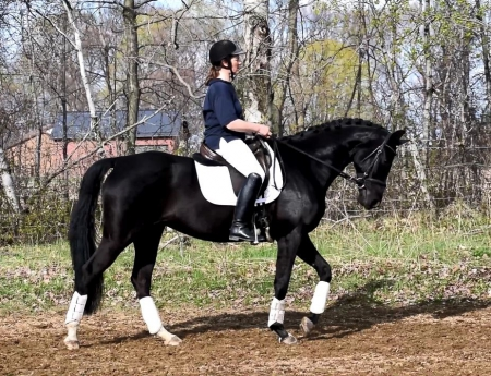 Sudha, Hanoverian Mare for sale in Ontario