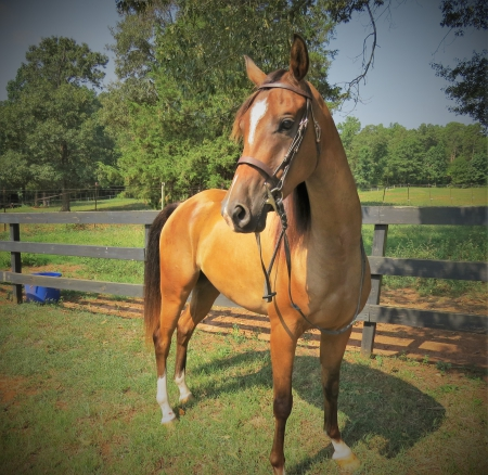 What the Huck BF (Huckster), Arabian Gelding for sale in South Carolina