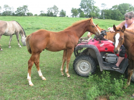 Weanling Stud Colt, American Quarter Horse Stallion for sale in Iowa