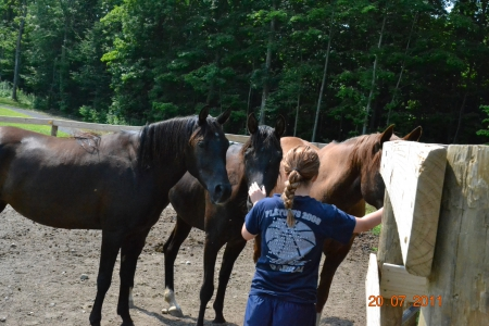 3 Arabian Horse for free, Arabian Gelding for sale in New York