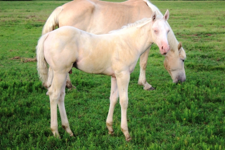 Zip N Crackers, American Paint Horse Association Colt for sale in Arkansas