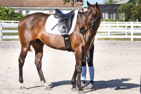 Charm, Thoroughbred Mare for sale in Florida