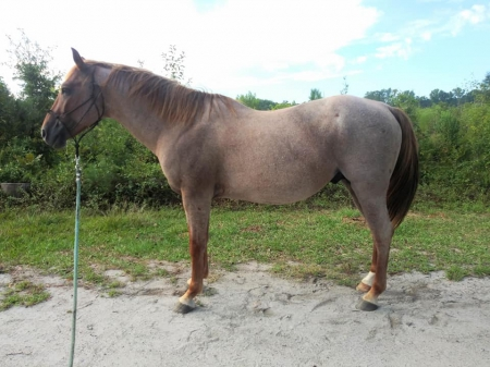 5 Year Old Red Roan, American Quarter Horse Stallion for sale in South Carolina