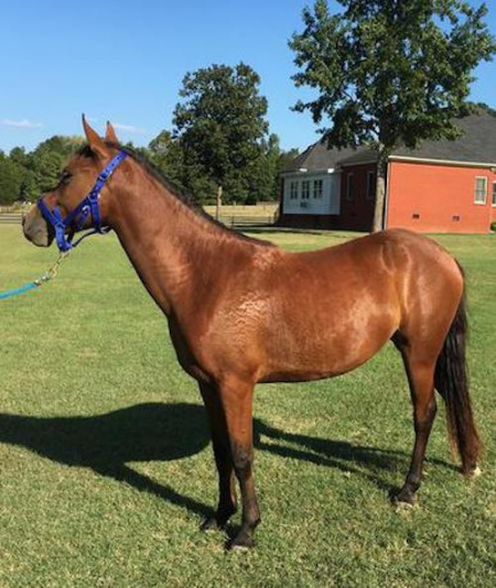 Sunny, Racking Horse Mare for sale in Louisiana