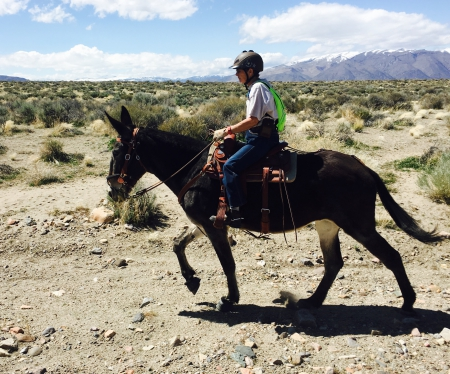 Thelma, Mule Mule for sale in Nevada
