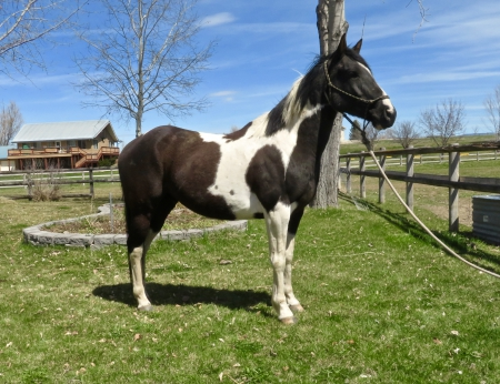 Nacho, American Quarter Horse Gelding for sale in Montana