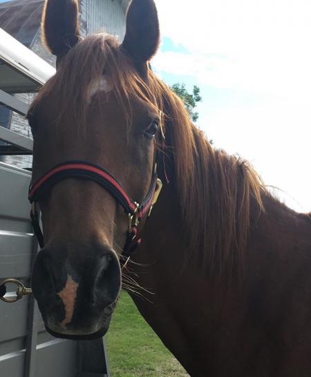Izzy, Arabian Gelding for sale in Minnesota