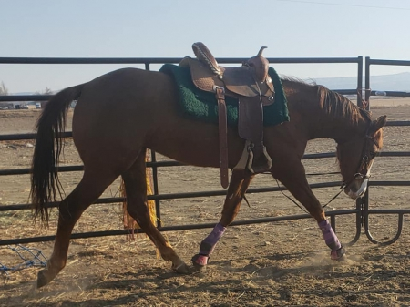 Lukin For A Dream, Abyssinian Filly for sale in Wyoming