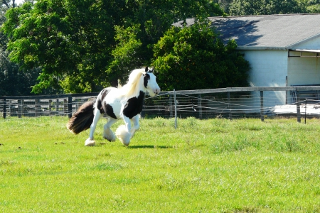 Clio, Gypsy Vanner Mare for sale in Florida
