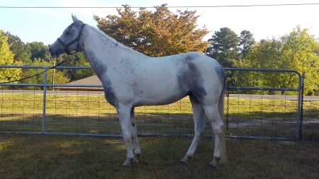 Slicks to the Heart (aka Smokey), American Paint Horse Association Gelding for sale in Georgia